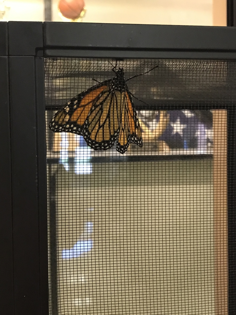 Monarch in cage